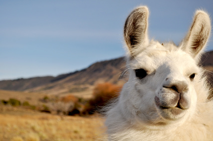Ein Lama in Chile.
