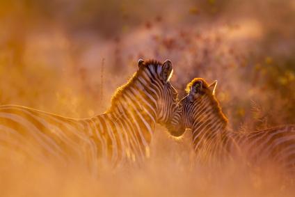 Zebras im Krüger-Nationalpark in Südafrika.